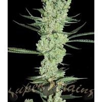 Amnesia Feminised Cannabis Seeds | Superstrains