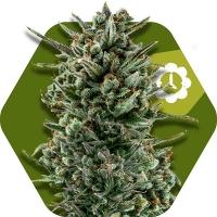 Amnesia Haze XL Auto Feminised Cannabis Seeds | Zambeza Seeds