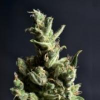Amnesia Feminised Cannabis Seeds   CBD Seeds Classic Line