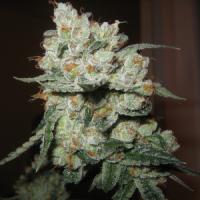 Chuck Berry Regular Cannabis Seeds   Apothecary Genetics Seeds