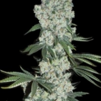Earlywave Regular Cannabis Seeds | Apothecary Genetics Seeds