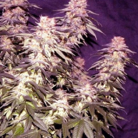 Orange Fizz Regular Cannabis Seeds | Apothecary Genetics Seeds
