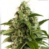 Auto Euforia Auto Feminised Cannabis Seeds | Dutch Passion