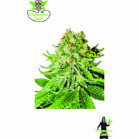Auto NL Aurora Feminised Cannabis Seeds | Dispensario Seeds