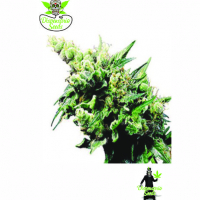 Auto Old School Hashplant Feminised Cannabis Seeds | Dispensario Seeds