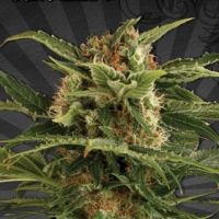 Auto Pounder Auto flowering Feminised Cannabis Seeds | Auto Seeds