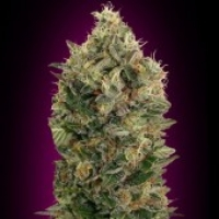 Advanced Seeds Auto Black Diesel Feminised Cannabis Seeds