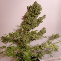 Auto Malawi x Northern Lights Feminised Cannabis Seeds | Ace Seeds