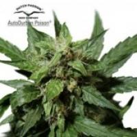 Auto Durban Poison Auto Feminised Cannabis Seeds | Dutch Passion