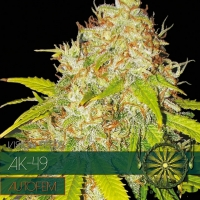 AK 49 Auto Feminised Cannabis Seeds | Vision Seeds