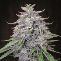 Bangi Haze Regular Cannabis Seeds | Ace Seeds