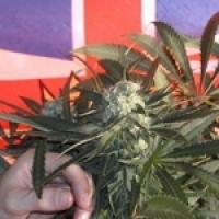 BC Sweet Tooth Regular Cannabis Seeds | BC Bud Depot