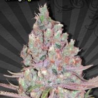 Berry Ryder Auto Feminised Cannabis Seeds | Auto Seeds