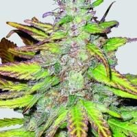 Blackberry Auto Feminised Cannabis Seeds | Fast Buds