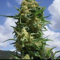Black Widow Feminised Cannabis Seeds | Positronics