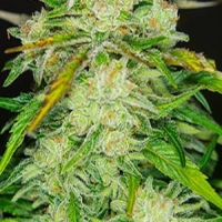Blow Mind Auto Feminised Cannabis Seeds | Sweet Seeds