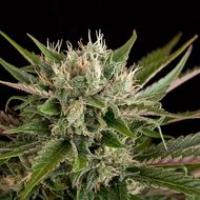 Blue Cheese Feminised Cannabis Seeds | Dinafem Seeds
