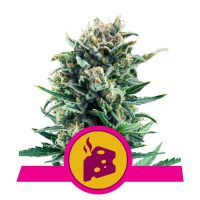 Blue Cheese Feminised Cannabis Seeds   Royal Queen Seeds