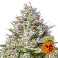 Blue Gelato 41 Feminised Cannabis Seeds | Barney's Farm