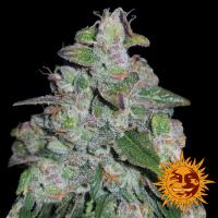 Blueberry OG Feminised Cannabis Seeds | Barney's Farm