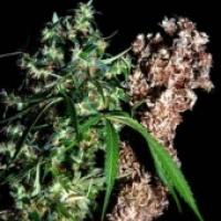 Brainstorm Haze x G13 Regular Cannabis Seeds | Delta 9 Labs