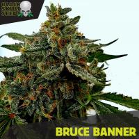 Bruce Banner Feminised Cannabis Seeds | Black Skull Seeds