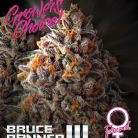 Bruce Banner III Feminised Cannabis Seeds - Growers Choice
