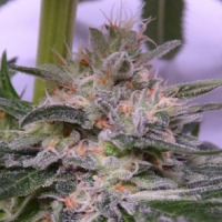 Bubba Hash Feminised Cannabis Seeds | Ace Seeds