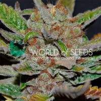 Bubba Haze Regular Cannabis Seeds | World of Seeds