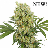 Medikit Feminised Cannabis Seeds | Buddha Seeds