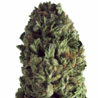 Budzilla Feminised Cannabis Seeds   Heavyweight Seeds