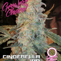 Cinderella '99 Auto Feminised Cannabis Seeds - Growers Choice