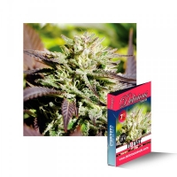 Caramelo F1 Rapid Feminised Cannabis Seeds   Delicious Seeds