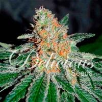 CBD Jam Feminised Cannabis Seeds   Delicious Seeds