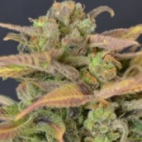 Auto Critical Feminised Cannabis Seeds |  CBD Seeds Auto flowering Line