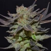 Lavender Feminised Cannabis Seeds   CBD Seeds Classic Line