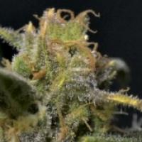 Auto Northern Feminised Cannabis Seeds   CBD Seeds Auto Flowering Line