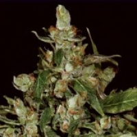 Auto Widow Feminised Cannabis Seeds | CBD Seeds Auto Flowering Line