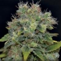 Auto Yumbolt Feminised Cannabis Seeds   CBD Seeds Auto Flowering Line