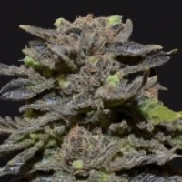 Magma Feminised Cannabis Seeds |  CBD Seeds Medical Line