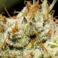 Yumbolt Feminised Cannabis Seeds | CBD Seeds Classic Line