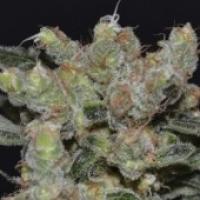 Zen Feminised Cannabis Seeds | CBD Seeds Medical Line