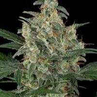 Cheese Auto Feminised Cannabis Seeds | Dinafem Seeds