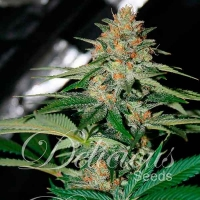 Delicious Candy (Formerly Cheese Candy) Regular Cannabis Seeds   Delicious Seeds