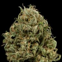 Cheese XXL Auto Feminised Cannabis Seeds | Dinafem Seeds