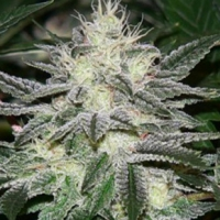 Chem Dawg Regular Cannabis Seeds | Apothecary Genetics Seeds