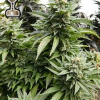 Chem 91 Regular Cannabis Seeds | Apothecary Genetics Seeds