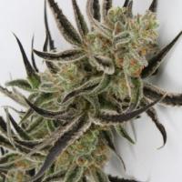 Chernobyl Regular Cannabis Seeds   TGA Seeds