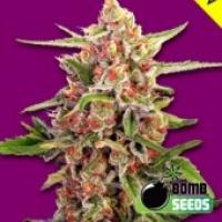Cherry Bomb Regular Cannabis Seeds | Bomb Seeds