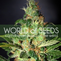 Chronic Haze Feminised Cannabis Seeds | World of Seeds